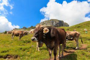 Kühe vor dem Hohen Ifen