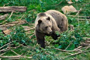 Braunbär im Bärenrefugium Kuterevo