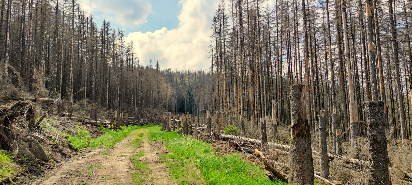 Tote Bäume im Harz