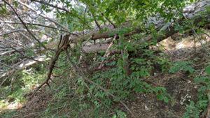 Aufstieg zur Cima dei Sospiri entlang umgefallener Bäume über bewachsenen Weg
